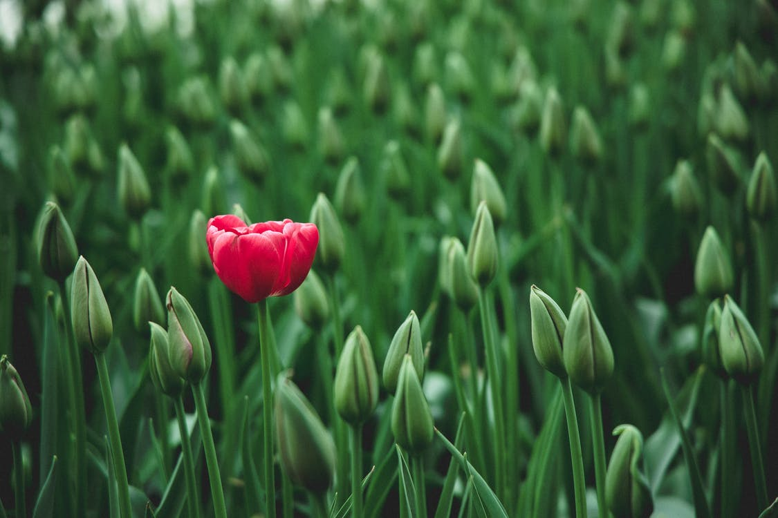 selective focus photo of a red tulip flower
